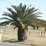 Phoenix canarinsis - date palm