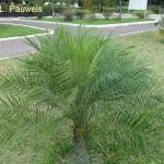 Phoenix robellenii - dwarf date palm