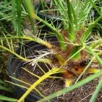 Phoenix robellenii - dwarf date palm. Spikes