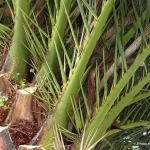 Phoenix canarinsis - date palm. Spikes